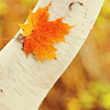 autumn tree leaf